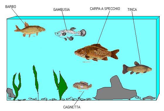 pesci - Acquario Per Gambusie
